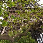 Torre Eifel atrás da árvore